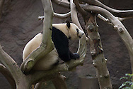 A giant panda eats at the San Diego Zoo at the San Diego Zoo