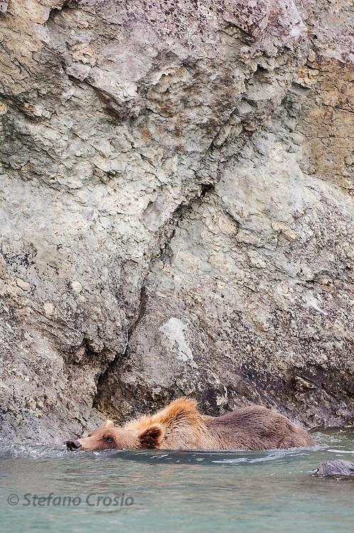 USA, Katmai National Park (AK).Brown bear (Ursus arctos) swimming