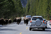 cars, vehicles, park visitors, visitors, wildlife jam, cars and bison, Bull Bison, Herd, Bison Herd, Bison Calf, Baby bison, Calf, Baby, Cow Bison, Female Bison, Bison, Buffalo, Yellowstone National Park, Yellowstone, Wyoming
