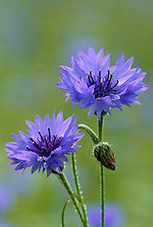 Centaurea cyanus - cornflower, blue-bottle