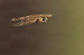 Falco_peregrinus