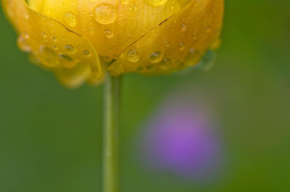 Trollius europaeus; Globe flower, Malbun, Liechtenstein