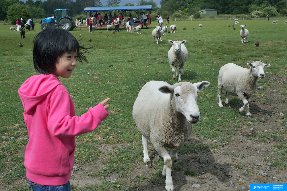 A young girl with sheep during the Organic farm tour at Agrodome, Rotorua. The Agrodome offers visitors the experience of seeing through the eyes of a New Zealand farmer. Situated just north of Rotorua city on a scenic 160 hectare sheep and beef farm, Agrodome gives visitors an educational and hands-on experience..  Agrodome includes a Sheep Show featuring 19 breeds of sheep, sheep shearing, cow milking, lamb feeding and dog demonstrations. .The Organic Farm Tour gives visitors a hands-on experience with a variety of farm animals. Rotorua, New Zealand,. 10th December 2010 Photo Tim Clayton.