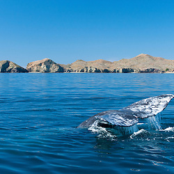 A grey whale along the coast of Baja California, Mexico.