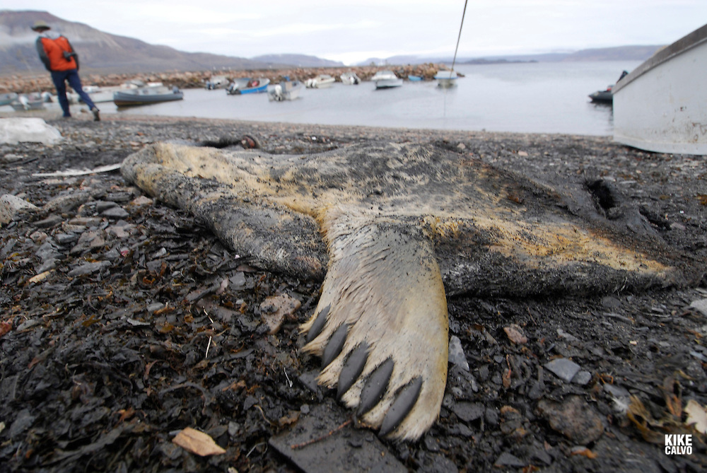 Remains of a dead ringed seal ( Pusa hispida )after a hunting. Coastal Inuit community of Arctic Bay. Lancaster Sound. HIgh Arctic. Baffin Island.<br />
