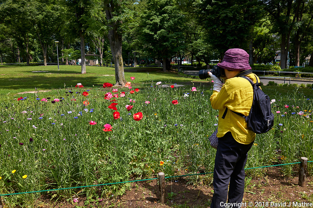 Woman Photographing Poppy Flowers at Shinjuku Chuo Park in Tokyo Image taken with a Leica CL camera and 18 mm f/2.8 lens (ISO 100, 18 mm, f/4, 1/500 sec).