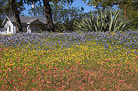 Bluebonnets in a tri-colored yard, near Lake Buchanan, Texas.