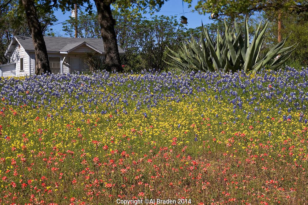 Bluebonnets in a tri-colored yard, near Lake Buchanan, Texas.