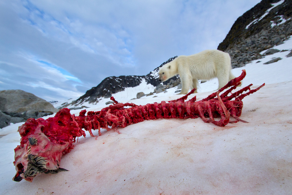Norway, Svalbard, Spitsbergen Island, Remote camera view of Polar Bear (Ursus maritimus) approaching bloody skeletal remains of Bearded Seal on snow slope along Fuglefjorden (Bird Fjord)