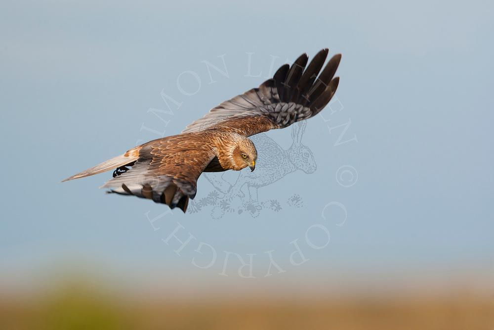Western Marsh Harrier (Circus aeruginosus) adult male in flight, hunting, Norfolk Broads N.P. UK.
