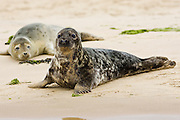 Common Grey Seals, Norfolk, United Kingdom