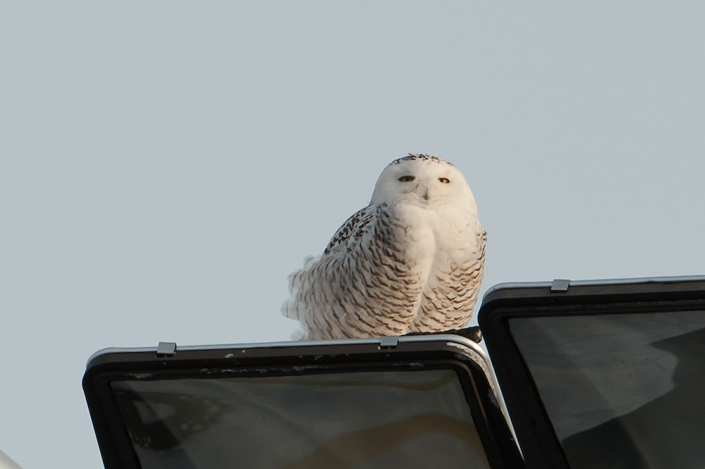 Snowy Owl Pellet Regurgitation Syracuse NY Airport