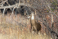 A large Whitetail buck scent marks a scrape tree during the autumn rut