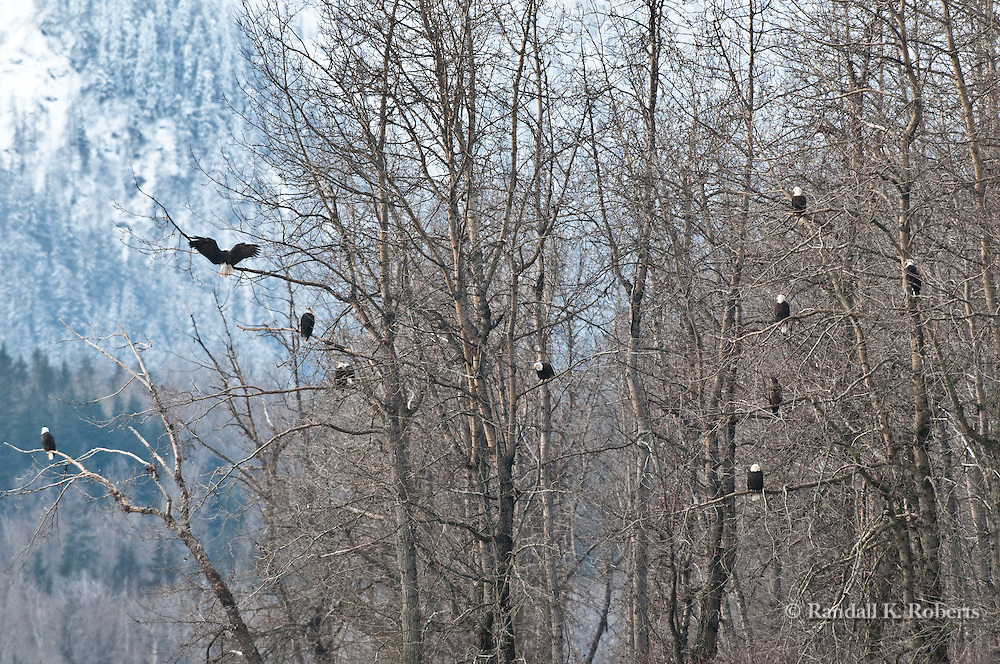 Bald eagles fill the trees during last salmon run, Chilkat River, Chilkat Bald Eagle Preserve, Haines, Alaska