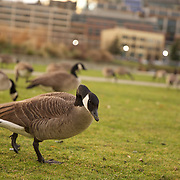 Canadian geese at an outdoor buffet