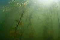 Rich underwater flora at Lake Skadar National Park, Montenegro