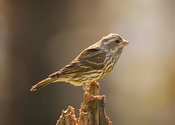 A Female Purple Finch Posted On Top Of A Dead Tree
