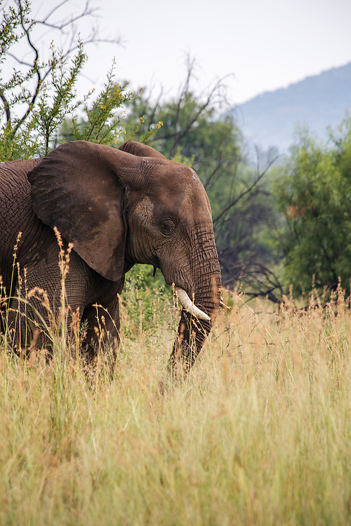 An elephant in an African game park.