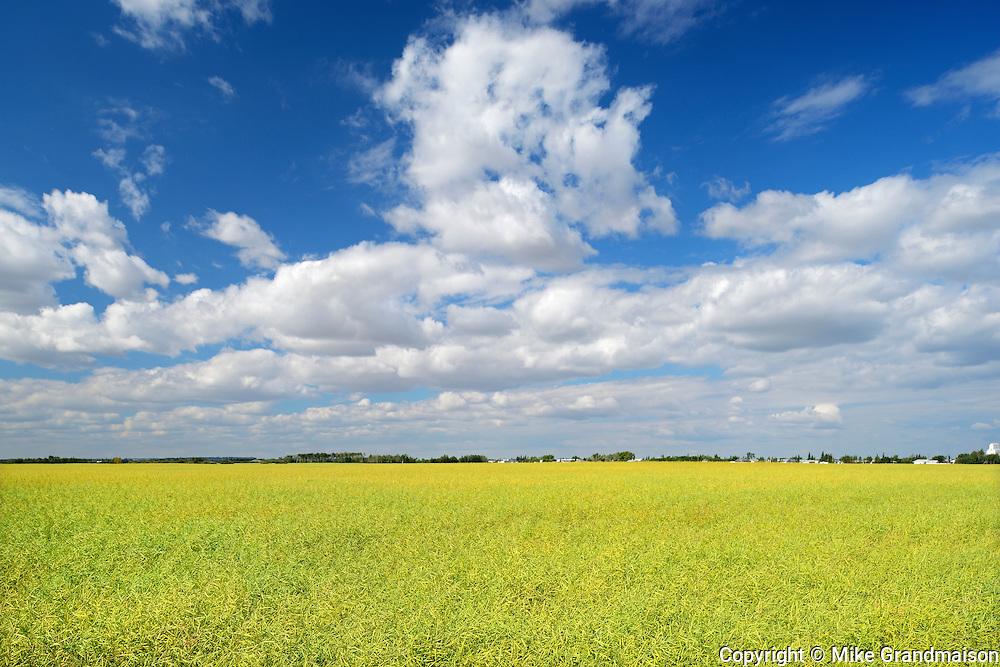 Canola crop and clouds<br />Rycroft<br />Alberta<br />Canada