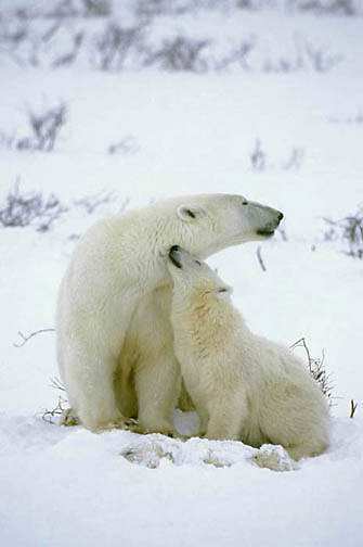 Polar Bear, (Ursus maritimus) Mother with surviving cub watches over dead cub. Churchill, Manitoba. Canada.