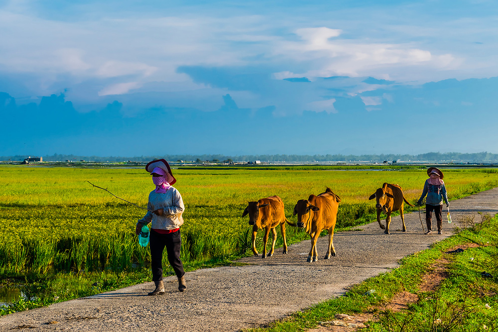 Farmers driving their cattle home from the fields in the countryside outside Hue, Central Vietnam.