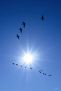 A flock of 16 Canada geese (Branta canadensis) fly south past the sun as they begin their migration to warmer climates for the winter. During migration, Canada geese often fly in a distinctive V-shaped flight formation, at a usual altitude of 1 km (3,000 feet). The maximum flight ceiling of Canada geese is unknown, but they have been reported at 9 km (29,000 feet).<br /> <br /> (single image, no filter)