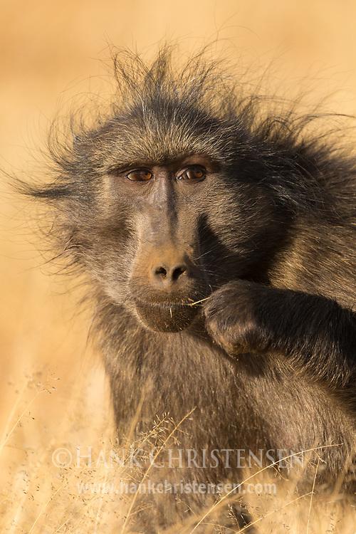 A chacma baboon sits in short savannah grass, Naan Ku Se Wildlife Sanctuary, Namibia.