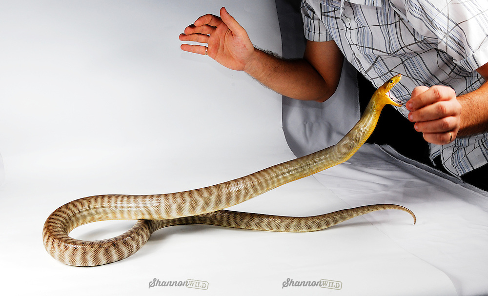 A snake handler almost takes a bite from a Woma Python (Aspidites ramsayi) during a studio photo shoot.