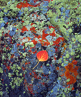 I was walking through a forrest in Wyoming when I came upon this multi colored lichen covered rock with a single red aspen leaf on it.  I took out may camera to shoot these vibrant colors with extreme detail.