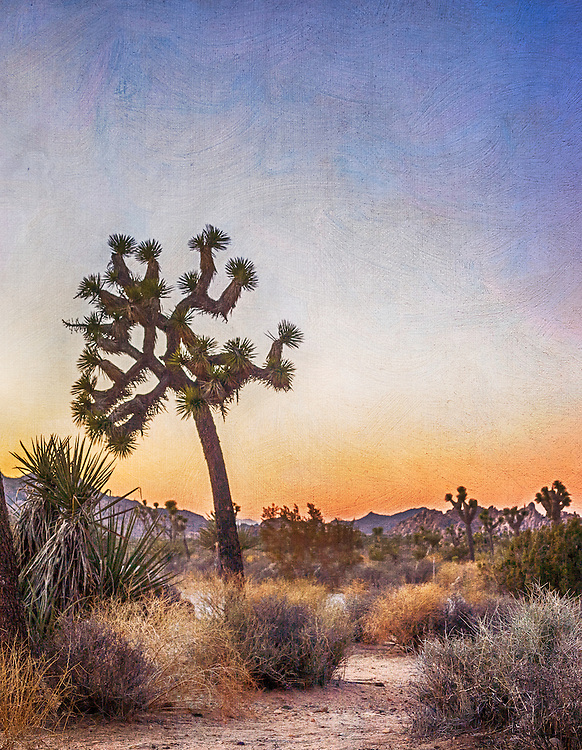 Large Joshua tree during sunset in Southern California.