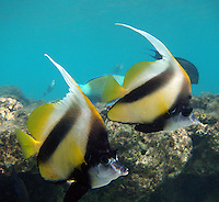 Red Sea bannerfish - Heniochus intermedius