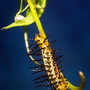A Zebra Longwing Butterfly caterpillar feeds on a passion vine plant in St Petersburg, Florida.