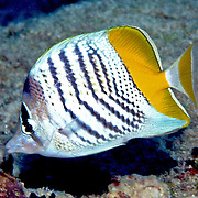 Atoll Butterflyfish inhabit reefs. Picture taken Fiji.
