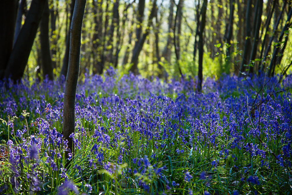 Purple Wildflowers in Forest
