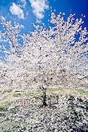 Pear Tree Abstract