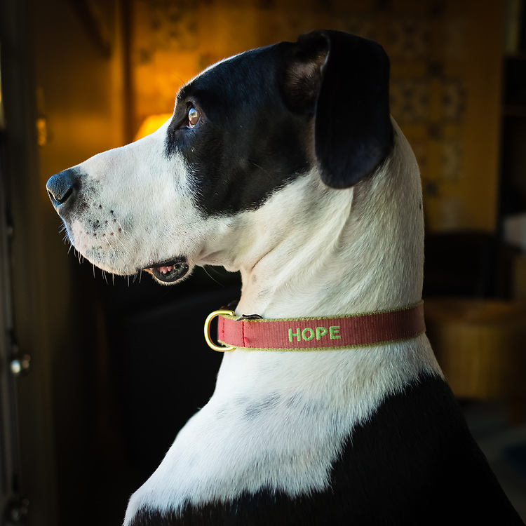 A great dane named Hope shows off her profile.