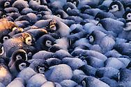 Emperor penguin chicks huddling, Aptenodytes forsteri, Weddell Sea, Antarctica