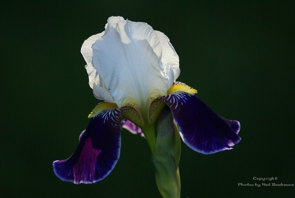 Iris in morning light