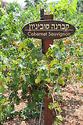 Israel, Lower Galilee, Tabor Winery, Cabernet Sauvignon grapes on a vines August 2008