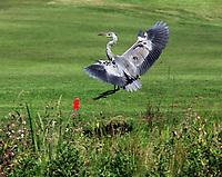 VLEUTEN - Een landende Reiger op Golfclub De Haar
