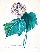 19th-century hand painted Engraving illustration of a Dombeya [as Dombeya ameliae] flower, by Pierre-Joseph Redoute. Published in Choix Des Plus Belles Fleurs, Paris (1827). by Redouté, Pierre Joseph, 1759-1840.; Chapuis, Jean Baptiste.; Ernest Panckoucke.; Langois, Dr.; Bessin, R.; Victor, fl. ca. 1820-1850.