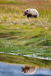 North American brown bear / coastal grizzly bear (Ursus arctos horribilis) cub walks along a creek with reflection, Lake Clark National Park, Alaska, United States of America
