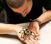 ZSL London Zoo Annual Count<br /> 4th January 2016 <br /> London Zoo, Regent's Park, London, Great Britain <br /> <br /> <br /> Jamie Mitchell with a Mexican Red Kneed Spider  <br /> <br /> <br /> Photograph by Elliott Franks <br /> Image licensed to Elliott Franks Photography Services
