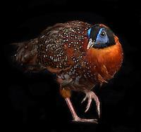 Temmincks Tragopan, (Tragopan temminckii), captive, credit: Pandemonium Aviaries/M.D.Kern