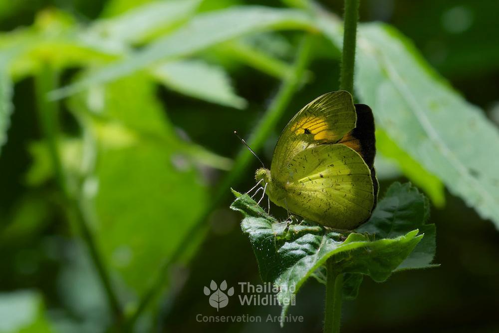 Yellow Orange Tip, Ixias pyrene verma. Kaeng Krachan National Park, Thailand.