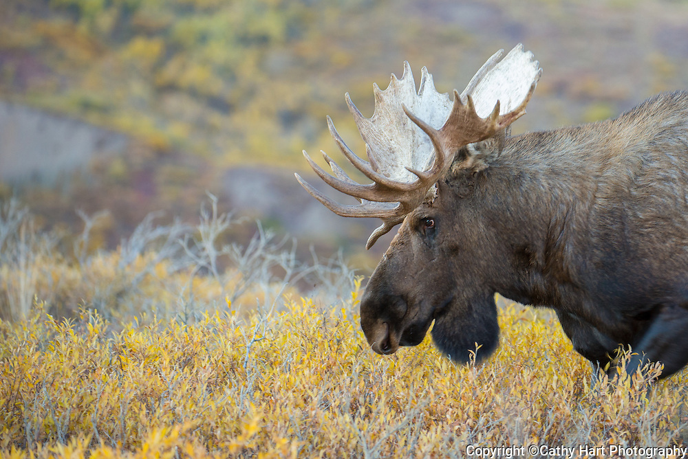 Moose meanders in Denali National Park Alaska, August