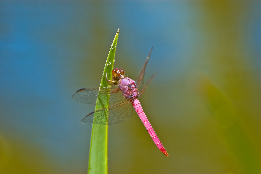 Roseate skimmer dragonfly resting on a reed in a pond in Sarasota, Florida. Beautiful!
