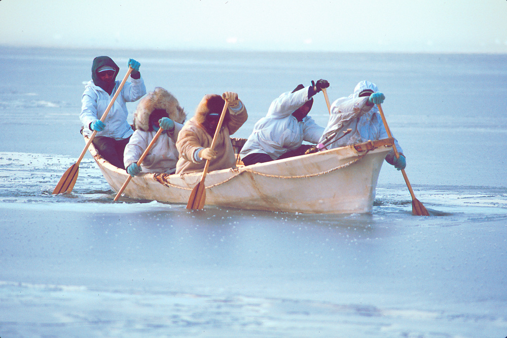 Whaling crew rowing umiak to shore , Chukchi Sea near Barrow,