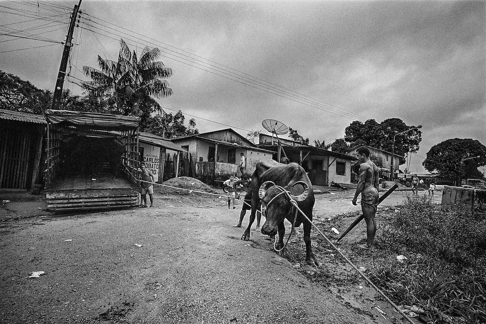 Brazil, oiapoque, amapa.<br /> <br /> Transport de b&oelig;ufs. Grignotee par la culture du soja et les elevages bovins, l'amazonie bresilienne aurait perdu 16,3% de sa superficie forestiere depuis les ann&eacute;es 1970.