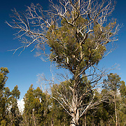 Fires, Howling Winds, Freezing temperatures and blazing summer heat have done all they can to stop this tree growing. It still survives. Coningham State Forest, Tasmania, Australia